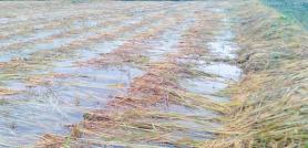 बेमौसमी वर्षाका कारण गुल्मीमा डेढ करोडको धान क्षति