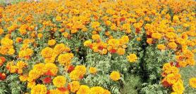 'नेपाली उत्पादनले फूलको माग धान्न सक्दैन,  यस पटक मालाको मूल्य नबढ्ने'