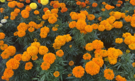 फूलमा झेल, 'तरकारी व्यापारीले फूल आयात गरे'