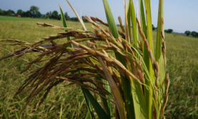 धानमा अनौठो रोग लाग्यो, हरियो धान काट्दै किसान