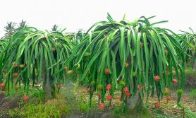 व्यावसायिक ड्रागन खेतीबाट राम्रो आम्दानी गर्दै कृषक