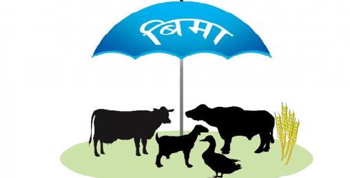 पशु बीमाबाट किसान सन्तुष्ट तर लोभ्याएन बाली बीमाले