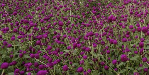 मखमली फूलको मालाको खुद्रा मूल्य महगो पर्ने