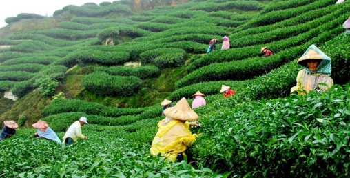 पश्चिम बंगालको चिया उद्योग संकटमा