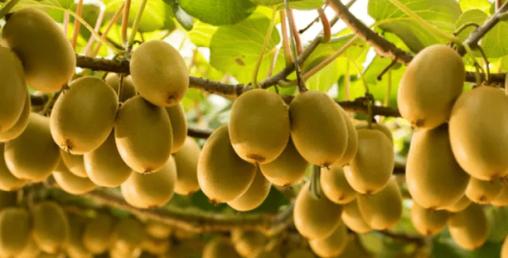 बागलुङमै किबी र जडीबुटीको बिरुवा उत्पादन