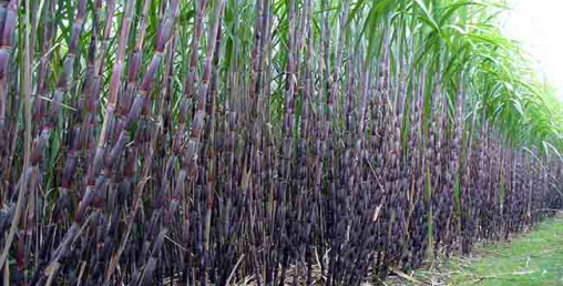 लकडाउनले उखु किसान मारमा
