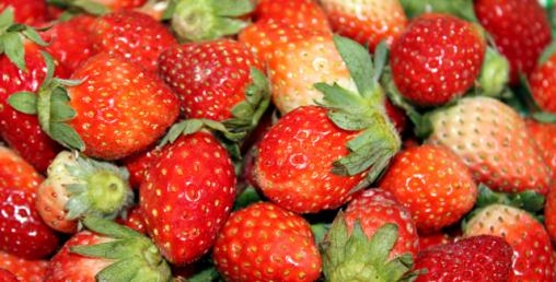 १० करोडको लगानीमा झापामा स्ट्रबेरीको व्यावसायिक खेती शुरु